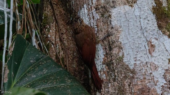 Manzanillo, Costa Rica: Streak-headed woodcreeper