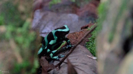 Manzanillo, Costa Rica: Green poison arrow frog