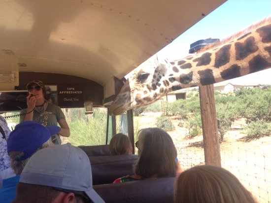 Camp Verde, AZ: Feeding the Giraffes!
