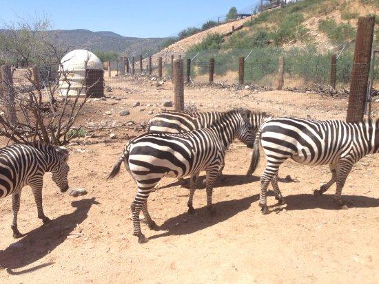 Camp Verde, AZ: Zebras