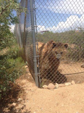 Camp Verde, AZ: Beautiful bear!