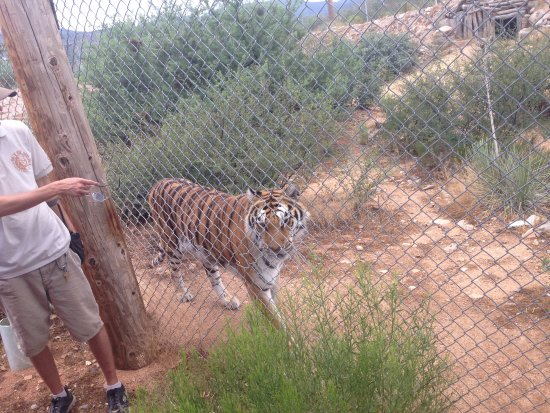 Camp Verde, AZ: One of MANY tigers!!!