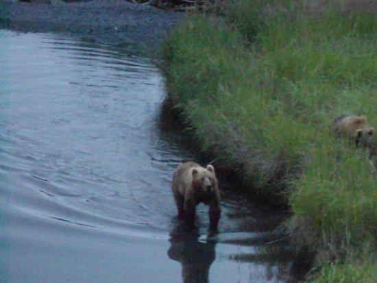 Kodiak, AK: Mama bear and baby bear searching for salmon. ( thank you Janet )