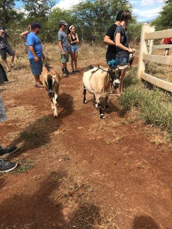 Kula, HI: Surfing Goat Dairy