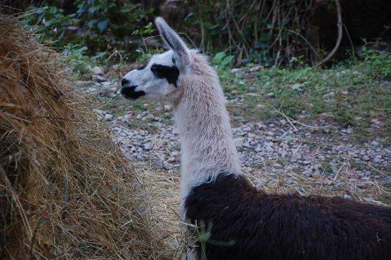 Bozouls, Francia: Lama