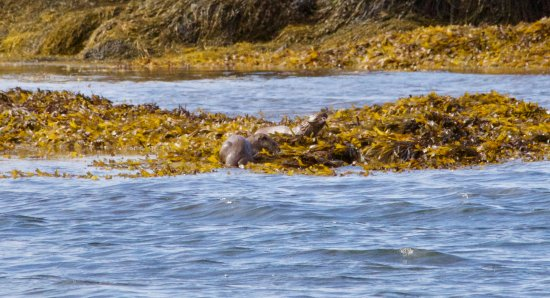 Craignure, UK: The otters