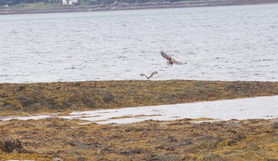 Craignure, UK: The Sea eagles