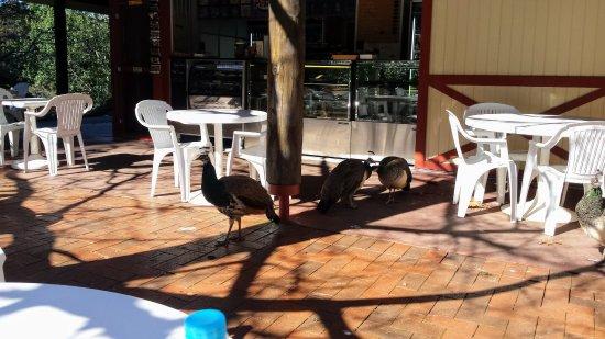 Λόνσεστον, Αυστραλία: Peacocks at the Basin Cafe (they steal food)