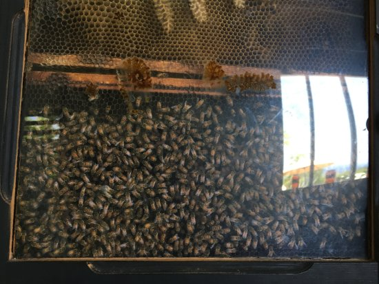 Big Island Bees: the working comb, the Queen (not pictured) has a white dot on her