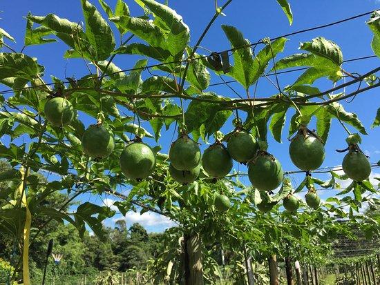 Passionfruit farm at Bramston beach