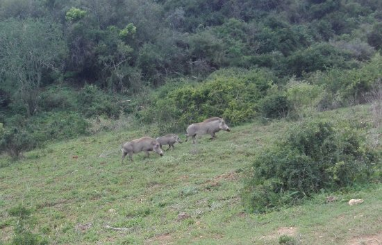 Addo Elephant National Park, South Africa: Warthogs