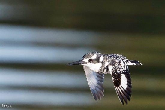 Rundu, Namibia: Heel wat vogelsoorten tijdens de boottocht (Bonte ijsvogel)