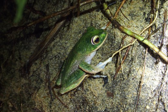 Maroantsetra, Мадагаскар: frog