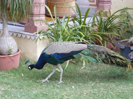 Hotel Anuraag Villa: peacocks in the garden