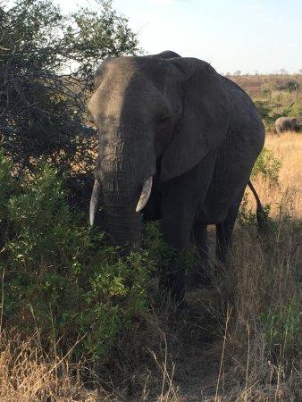 Sabi Sabi Bush Lodge: One elephant of many!!