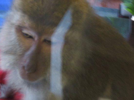Royal Kamuela: 怒り気味の猿