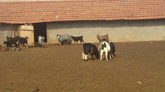 Ipsala, Turkiet: Çiftlikdeki Keçi ahırı