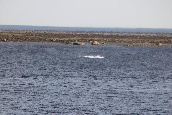 Tadoussac, Canada: Eccola la balena