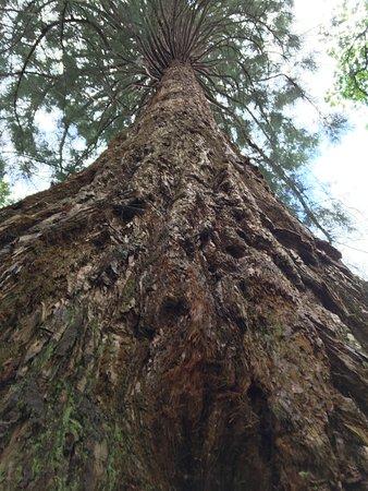 Хейуордс-Хит, UK: Gigantic redwoods.