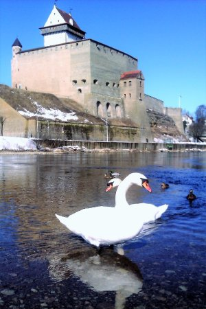 Narva Knights' Fortress: Лебеди Нарвы