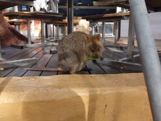 Rottnest Island, Australia: テーブルの下にもクオッカ