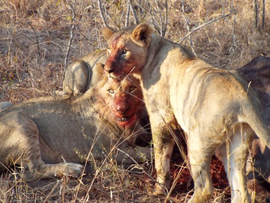 Tangala Safari Camp: Feeding lions
