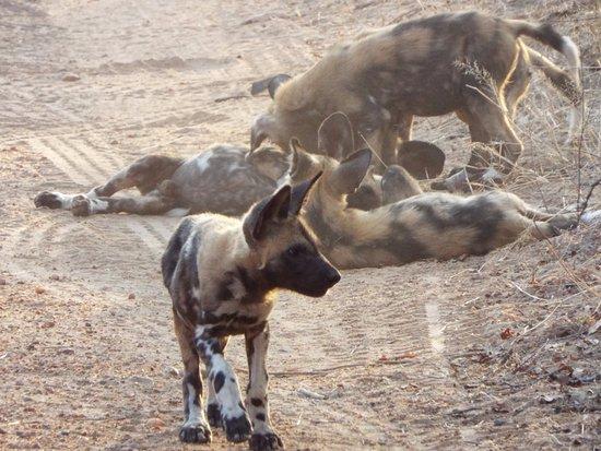 Tangala Safari Camp: Wild dog pups