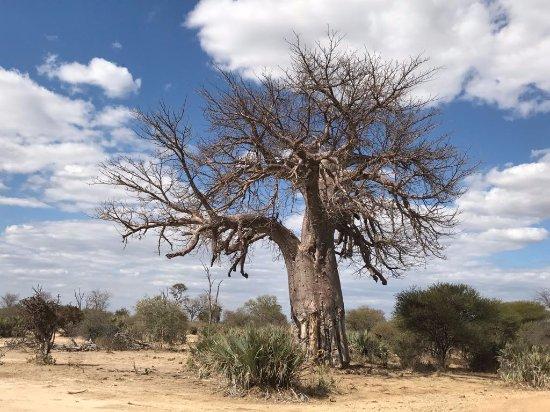 Caprivi Region, Namibia: baobab