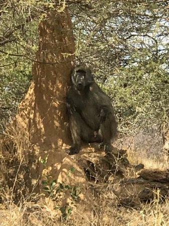Caprivi Region, Namibia: babouin