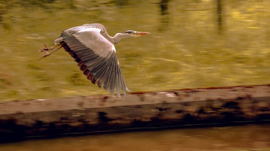 Lancaster Canal: A lovely Heron flying past us.