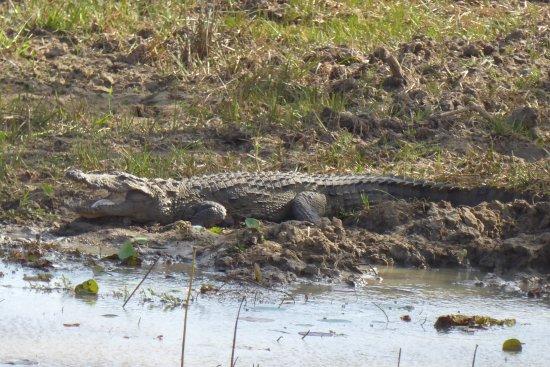 Wattala, Sri Lanka: Een tweede safari, hier waren o.a. ook krokodillen, waterbuffels, wilde zwijnen en zeer veel vog