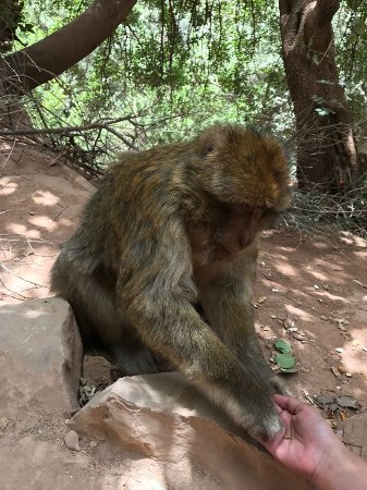 Colours of Morocco Day Tours : Atlas monkeys will eat from your hand.