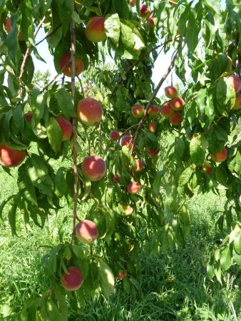 Bethlehem, CT: peaches