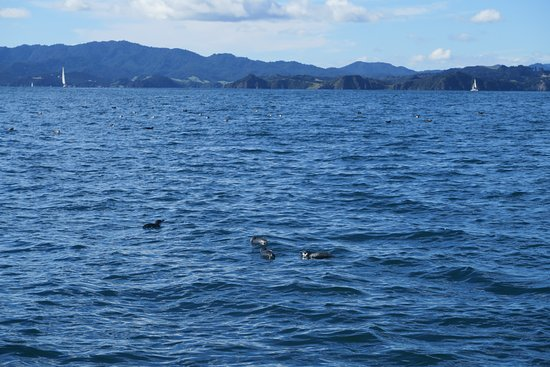 Paihia, New Zealand: blue penguins at Bay of Islands
