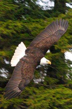 Gustavus, AK: Bald eagle soaring by the beach