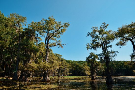 Uncertain, เท็กซัส: Beautiful bald cypress trees