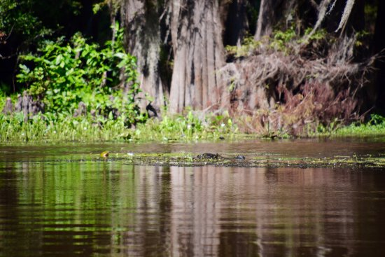 Uncertain, เท็กซัส: Gator sighting