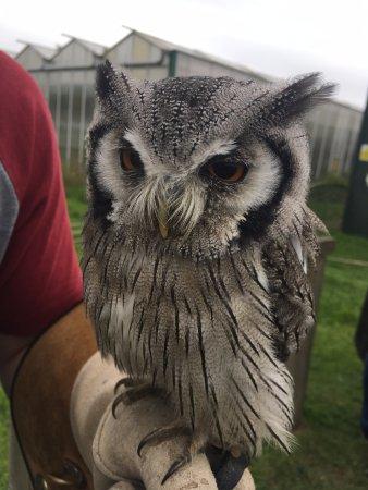 Congresbury, UK: Northern white-faced owl (Transformer Owl)