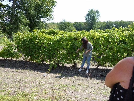 Saint-Armand, Canadá: Tour guide explaining everything about grapes