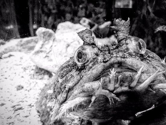 Mote Marine Laboratory and Aquarium: Toadfish