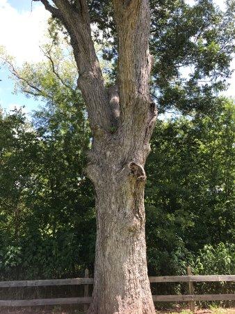 Washington, TX: 190 year old pecan tree