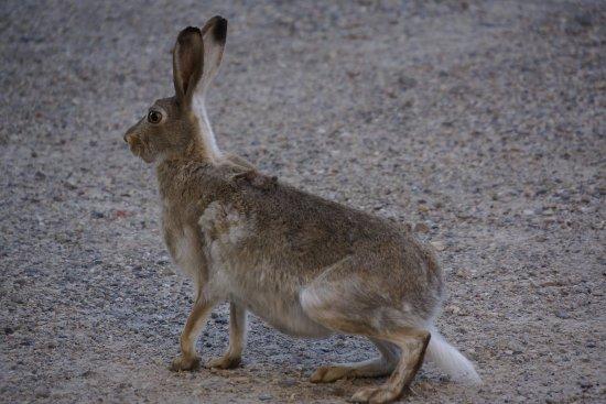 International Hotel and Spa Calgary : A wild rabbit in their carpark