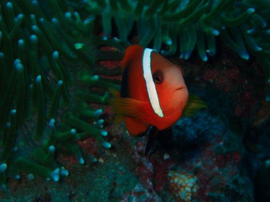 Padangbai, Indonesien: Another anemone fish