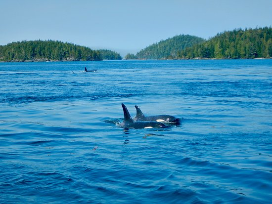Orcas with Sea Wolf Adventures, Port McNeill, B.C. Canada