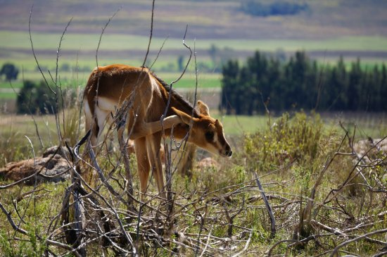 Swellendam, Sudáfrica: Sable born at Kwetu