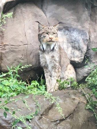 Apple Valley, MN: Absolutely beautiful Lynx