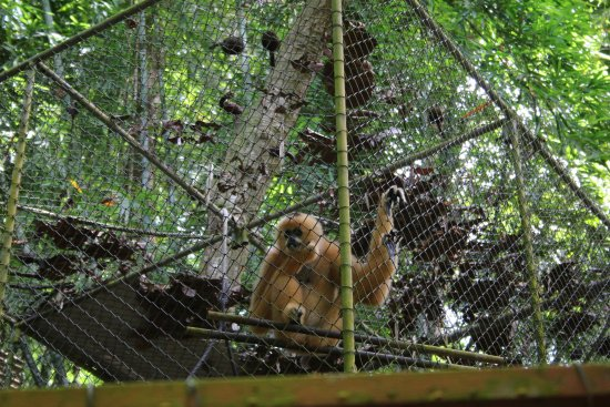 Gibbon Rehabilitation Project: Gibbon Reahbilitation