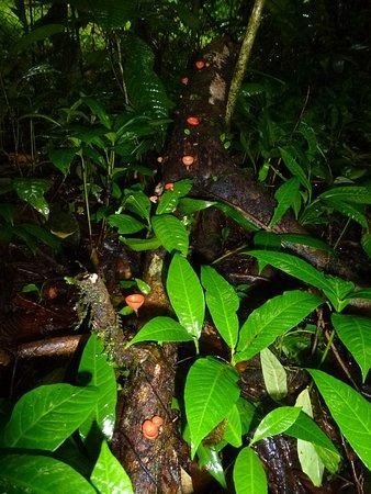 La Virgen, كوستاريكا: Orange cup fungus in the rainforest