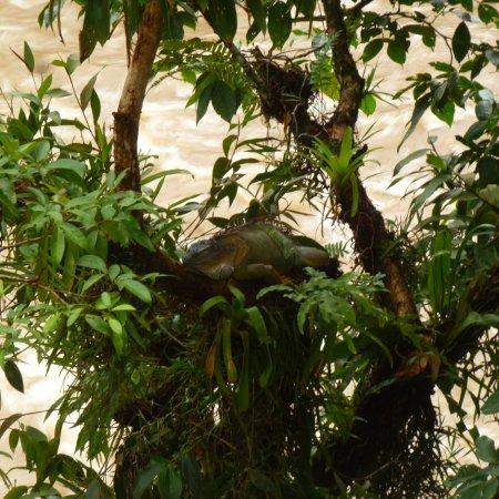 La Virgen, كوستاريكا: Big Daddy iguana in his roost
