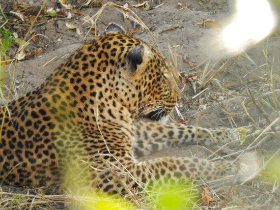 Mara Triangle: Leopard